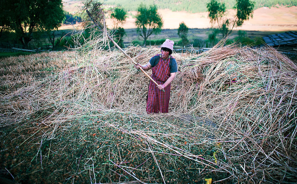A farmer is busy with the hay preparing for winter in Bumthang, Bhutan.