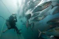 Bluefin tuna (Thunnus thynnus) in a pen off of Ensenada, Mexico
