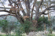 Kenya, Lake Nakuru National Park, 5 Lioness waiting in tree, February 2007