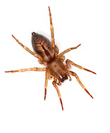 Clubiona corticalis. A common spider typically found in silk sacs under bark on tree trunks. It is one of only a few Clubionas with a strongly patterned abdomen.