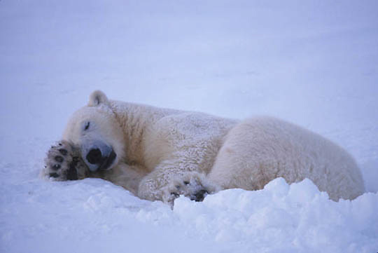 Polar Bear, (Ursus maritimus) Sleeping. Churchill, Manitoba. Canada.