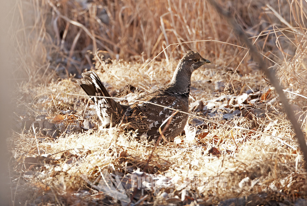 A Dusky Grouse walks through the tall grass in a mountain valley in southern Utah its November on Smiths Mesa.
