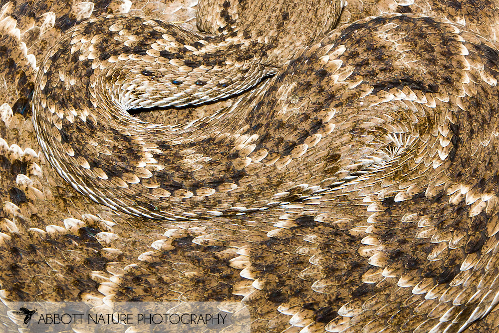 Westgern Diamondback Rattlesnake (Crotalus atrox)<br /> TEXAS: Hidalgo Co.<br /> Las Colmenas Ranch<br /> 21-23.April.2006<br /> J.C. Abbott