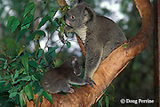 koala with cub, Phascolarctos cinereus (c), feeding on eucalyptus leaves, Australia