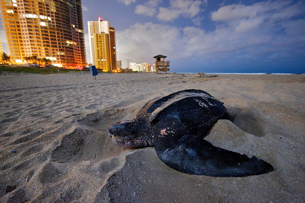 Endangered sea turtles struggle ashore on Juno Beach, north of Palm Beach, Florida, to lay their eggs in the soft sands, impaired by the shore lighting that can scare them away.  Worse, when the baby turtles hatch they often become confused by the lighting and turn away from the sea, making them easy prey for predators.