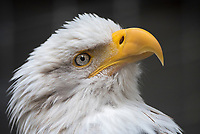 Vaulta, the bald eagle ambassador at the Alaska Raptor Recovery Center in Sitka Alaska.