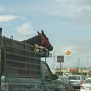 OCTOBER 6, 2017--MAYAGUEZ, PUERTO RICO ---<br /> A horse in the back of a pick truck in midday traffic in Mayaguez in the aftermath of Hurricane Maria.<br /> (Photo by Angel Valentin/Freelance)