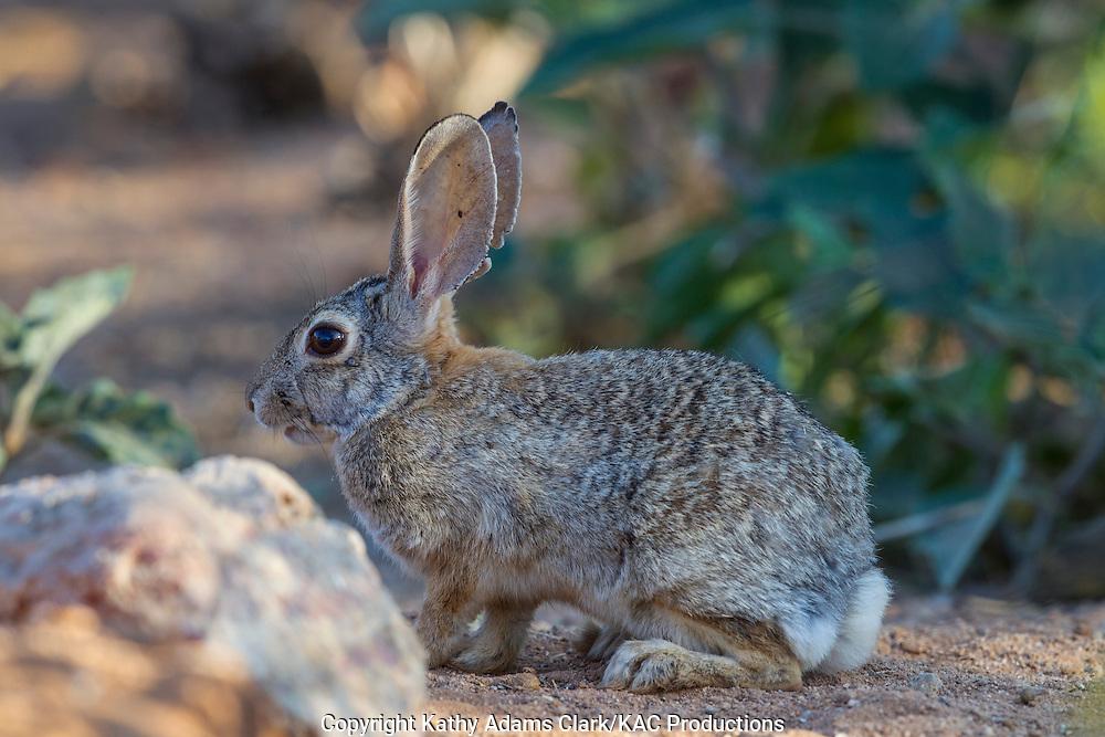 Desert cottontail, with tick near eye, Desert cottontail; Sonoran Desert; Southern; Summer; Sylvilagus audubonii; Arizona;