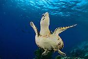 Hawksbill sea turtle (Eretmochelys imbricata) | DieKarettschildkröte (Eretmochelys imbricata) ist in den Korallenriffen der Karibik zu Hause. Dort lebt sie von Schwämmen und Anemonen, die sie in den Riffen um Bonaire reichlich findet. Atlantic, Bonaire, Leeward Antilles, Caribbean region, Netherlands Antilles