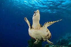 Hawksbill sea turtle (Eretmochelys imbricata)   DieKarettschildkröte (Eretmochelys imbricata) ist in den Korallenriffen der Karibik zu Hause. Dort lebt sie von Schwämmen und Anemonen, die sie in den Riffen um Bonaire reichlich findet. Atlantic, Bonaire, Leeward Antilles, Caribbean region, Netherlands Antilles