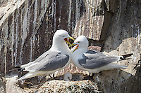 Dreizehenmöwen im Nest, Farne Islands, England