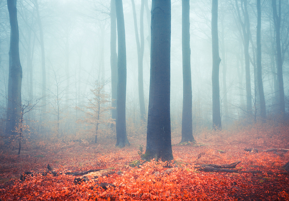 Beech trees in fog.