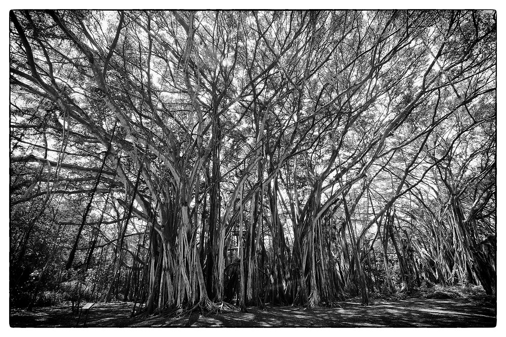 North Shore of Oahu forest