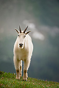 Environmental Portrait of a Mountain Goat