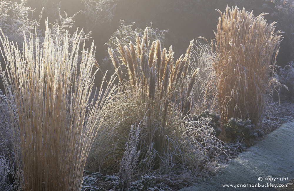 Early sun backlighting grasses in the Sunk garden at Great Dixter on a frosty winter's morning. Calamagrostis x acutiflora 'Karl Foerster', Cortaderia selloana 'Pumila' and Miscanthus sinensis cv.