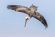 Flight is a complicated affair.  A normally gangly-looking brown pelican adeptly stabilizes its feathers to invert itself, and begins its rapid descent towards an unsuspecting fish below the waters. Bolsa Chica Ecological Reserve, Southern California.