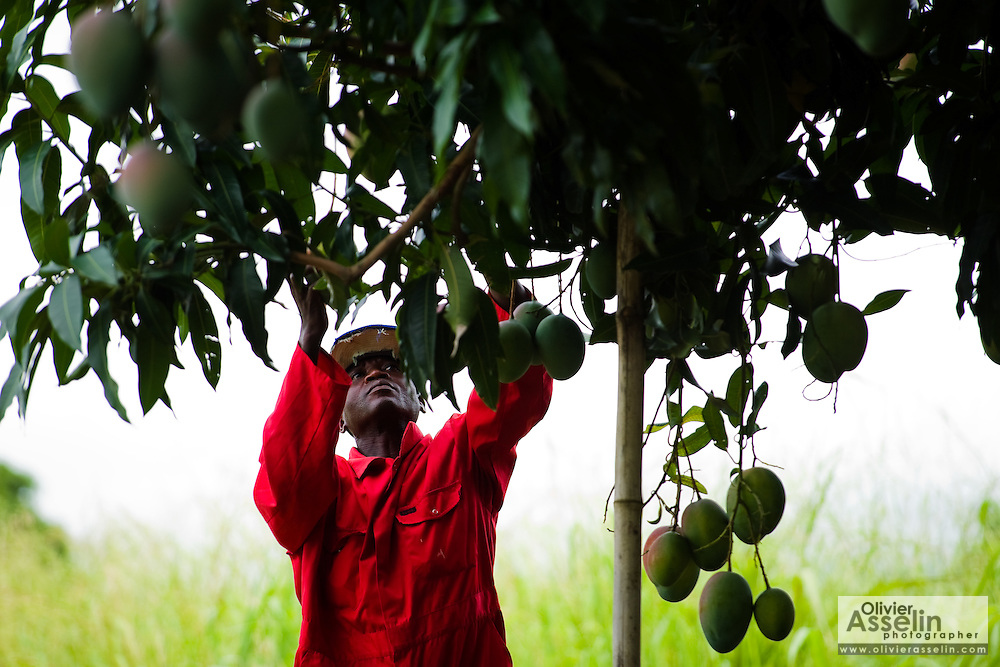A farm worker picks mangoes at Domescho farms in Somanya, Ghana on Wednesday June 17, 2009.