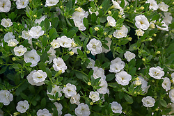 Calibrachoa Can Can 'Double White Improved'