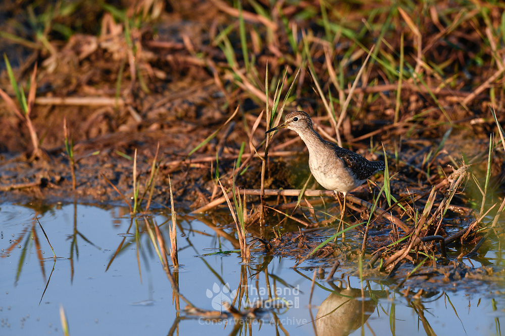 The wood sandpiper (Tringa glareola) is a small wader. This Eurasian species is the smallest of the shanks, which are mid-sized long-legged waders of the family Scolopacidae.