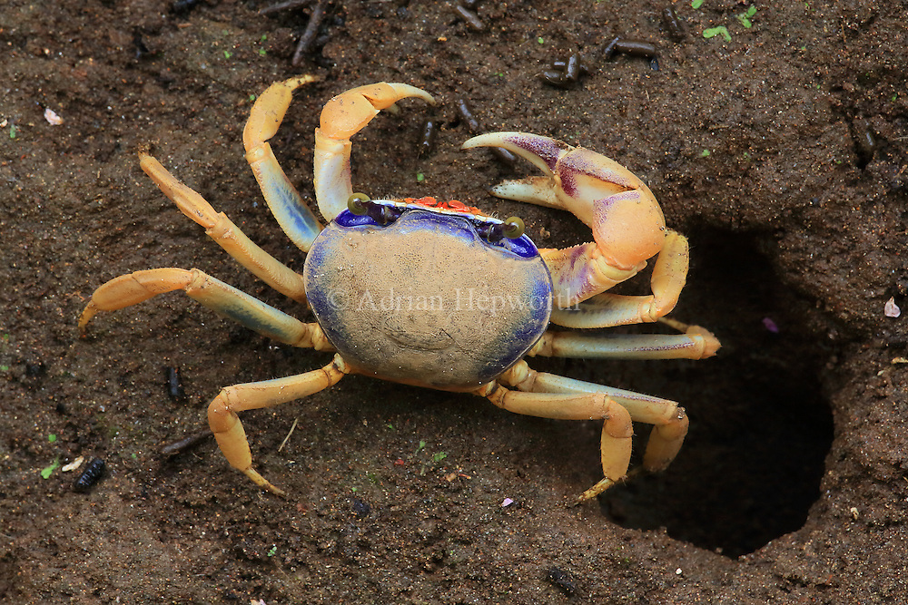Juvenile blue land crab (Cardisoma guanhumi) outside its burrow. Tortuguero National Park, Costa Rica.
