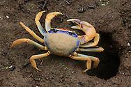 Juvenile blue land crab (Cardisoma guanhumi) outside its burrow. Tortuguero National Park, Costa Rica.