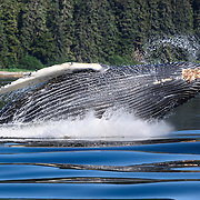 A humpback whale calf (Megaptera novaeangliae) breaching and playing while its mother engaged in bubble-net feeding with a social foraging group of whale nearby. Photographed in Chatham Strait, Alaska.