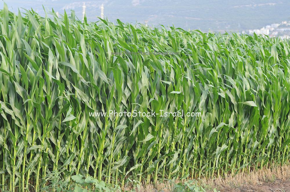 Corn field. Photographed in Haifa Bay, Israel