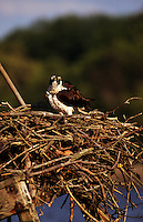 An osprey, Pandion haliaetus, also known as seahawk, fish hawk or fish eagle, is a medium-large fish-eating bird of prey or raptor.