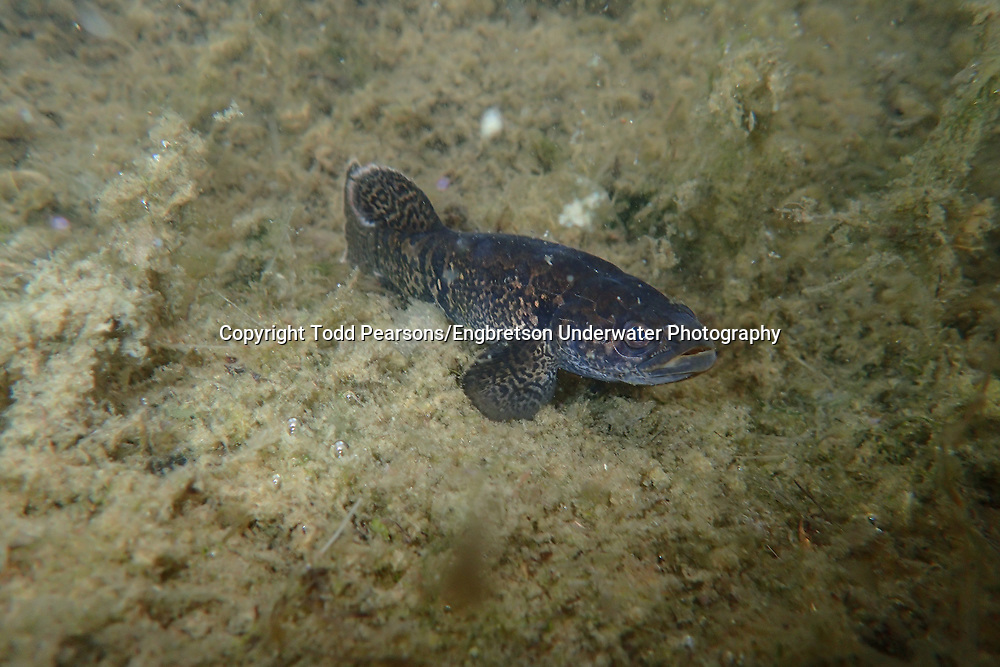 Alaska Blackfish<br /> <br /> Todd Pearsons/Engbretson Underwater Photography