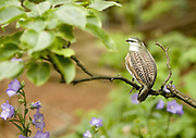 Arthur Jacobson emphasizes his pear tree by adding a fake partridge. His garden is so wild and thick with native plants that there are plenty of live birds to keep the pretender company. (Mike Siegel / The Seattle Times)