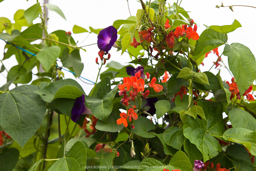 The bright red flowers and prolific vines of Scarlet Runner beans  growing with purple Morning Glories.