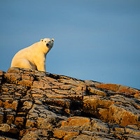 Canada, Nunavut Territory, Repulse Bay, Adult Male Polar Bear (Ursus maritimus) sitting in summer sunshine on rocky outcrop atop Harbour Islands along Hudson Bay