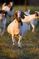 Boer Goats on the OSU Animal Science research Station in Stillwater Oklahoma.