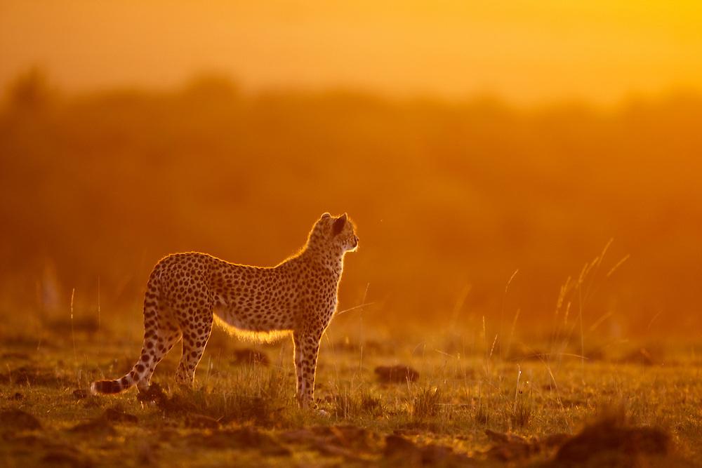 Africa, Kenya, Masai Mara Game Reserve,  Cheetah (Acinonyx jubatas) lit by rising sun on savanna