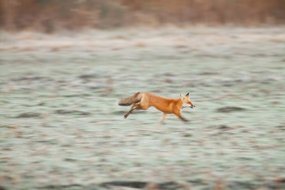Red fox running at Pocosin Lakes National Wildlife Refuge.