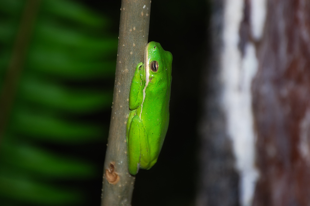 A green treefrog waits for night in the Fakahatchee Strand in SW Florida.