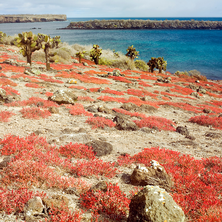 South Plazas island has an arid vegetation including Prickly Pear Cacti, Palo Santos Trees and Salt Bushes. The island is home to enormous prickly pear cacti and the endemic succulent Sesuvian. These succulents are green during the rainy season and become red during the dry season giving the island an unusual appearance.