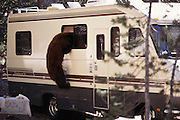 Local brown bear breaks into motor home to steal food from campers at a campground at Devil's Postpile National Monument. Route 395: Eastern Sierra Nevada Mountains of California.