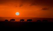 Wildebeests migration under the setting sun in Maasai Mara, Kenya.