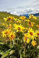 Absaroka Mountains south of Livingston, Montana from west, Arrowleaf Balsamroot wildflowers