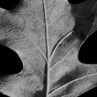 Black and white close-up of the underside of an oak leaf floating in the tannin-rich water of a drainage ditch in early morning light, Blackwater National Wildlife Refuge, Cambridge, Maryland