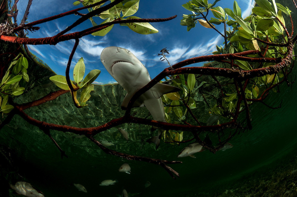 A lemon shark pup swimming among mangrove roots and mangrove snapper in a tiny creek on Eleuthera Island.