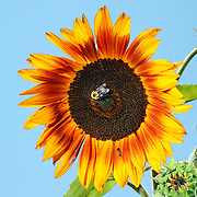 A bee sits on a sunflower under a blue sky in Pittsborro, NC