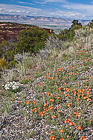 Common Globemallow (Sphaeralcea coccinea) thrives along the canyon rim.  Colorado National Monumnet.  Colorado, USA.