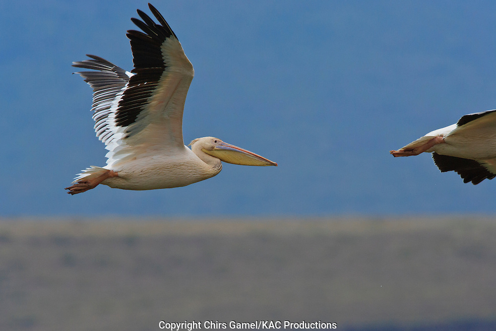 African White Pelican (Pelecanus onocrotalus) flying in Ngorongoro Conservation Area, Tanzania, Africa