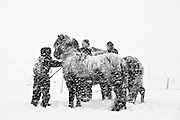 Farmers gather their horses in a snowstorm in south Iceland