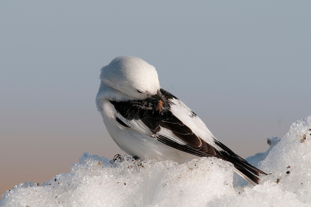 Snow bunting (Plectrophenax nivalis nivalis) with insect in its beak on a snowdrift near Barrow Alaska