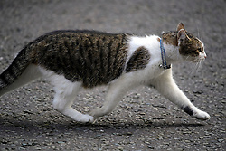 © Licensed to London News Pictures. 13/09/2016. London, UK.  LARRY the downing Street cat outside 10 Downing Street in London on September 13, 2016. Photo credit: Ben Cawthra/LNP