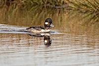 Female bufflehead duck swimming in a pond near Wakulla Beach in North Florida.