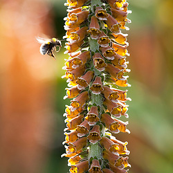 Bee on Digitalis parviflora. Foxglove